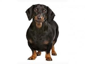 Imagen tomada de  http://www.perros.royalcanin.es/cosas-de-perros/salud/el-perro-con-sobrepeso